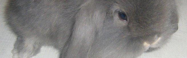 Стоит ли завести дома декоративного карликового кролика, и в чем его особенности?
