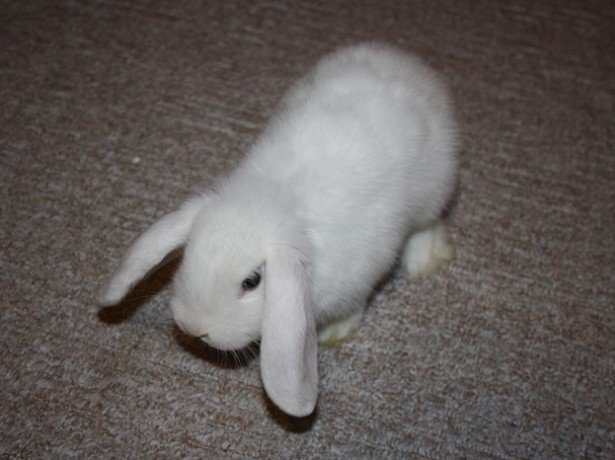 Фотография домашнего кролика