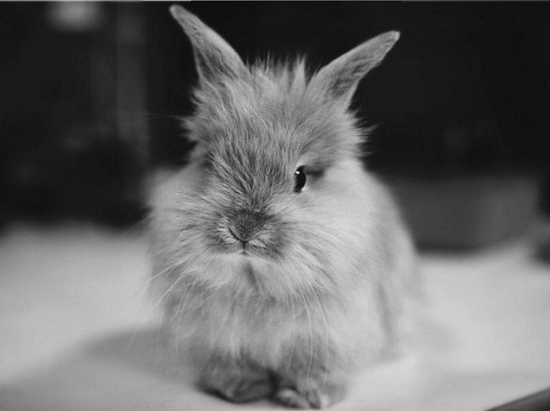 Для чего кастрировать кроликов в домашних условиях