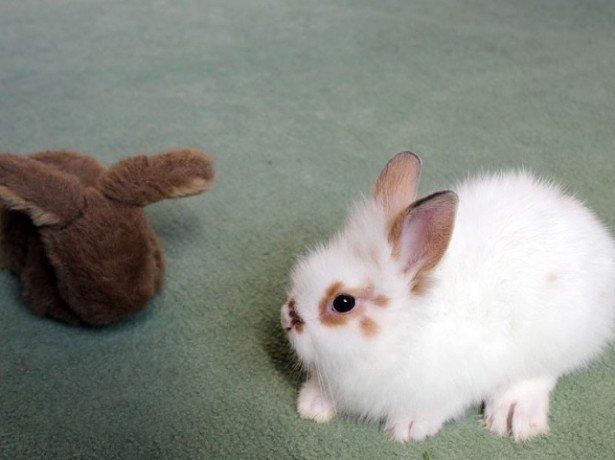 На фото белый карликовый кролик