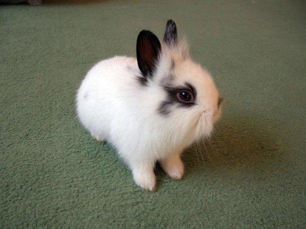 Фото карликового кролика