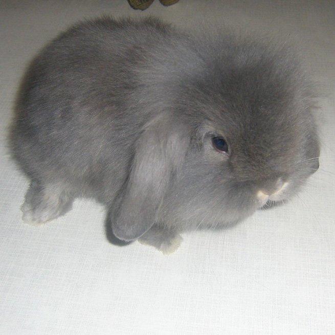 На фото декоративный кролик