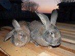 Болезни кроликов и их лечение, миксоматоз, кокцидиоз, ВГБК, ушной клещ