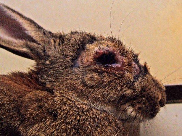 На фотографии миксоматоз у кролика