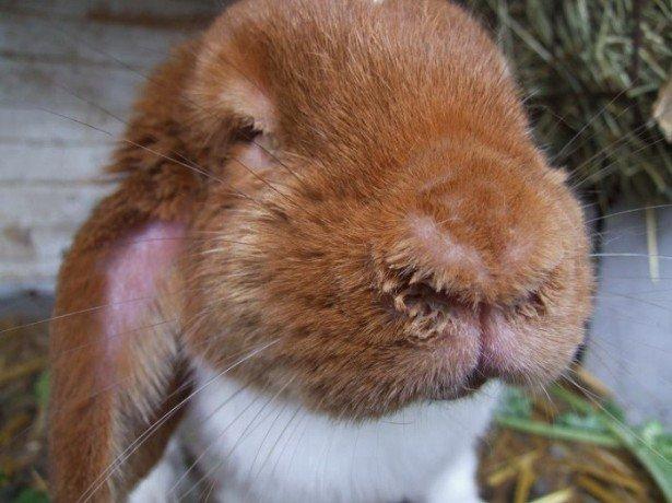 На фото заболевший кролик