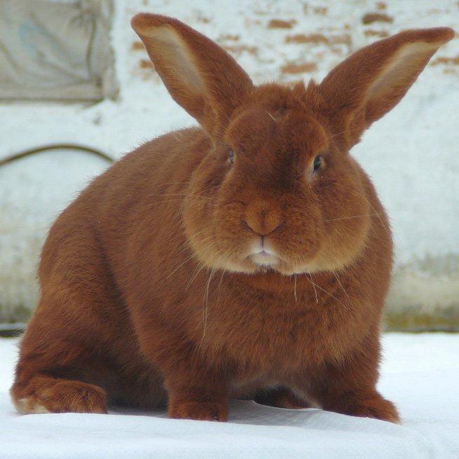 Почему у кролика красные глаза