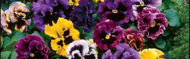 От цветочных горшков до стеллажей – что может потребоваться при выращивании фиалок?