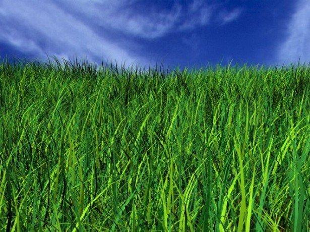 На фото газонная трава
