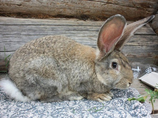На фото кролик породы Фландр