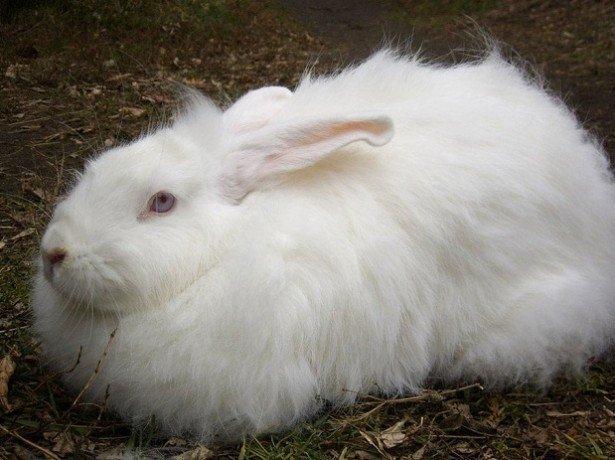 Фотография кролика породы Белая пуховая