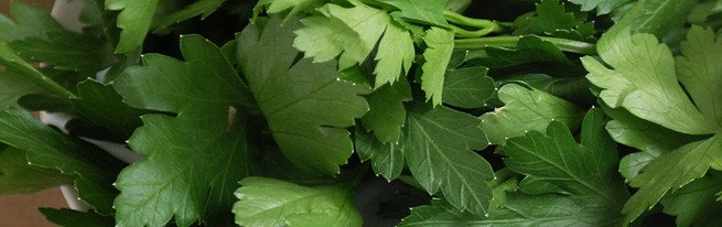 Лучшие сорта петрушки корневой и листовой – кудрявая, сахарная, урожайная