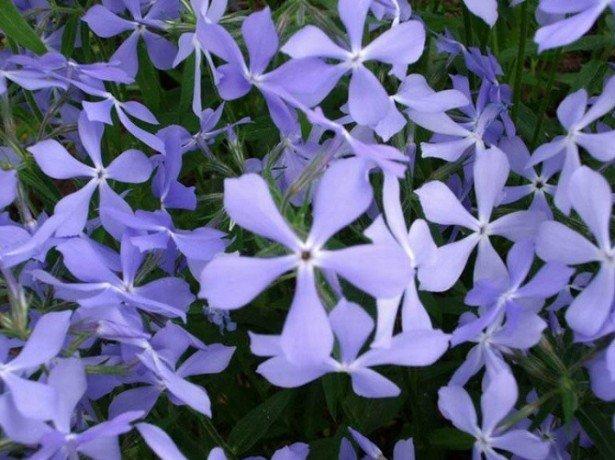 Цветы ночные фиалки