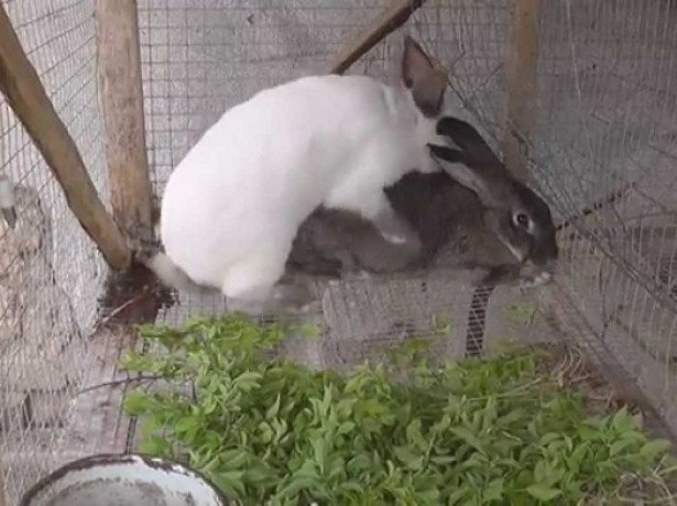 На фото спаривание кроликов