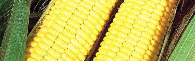 Технология возделывания кукурузы на силос – особенности выращивания и уборки урожая