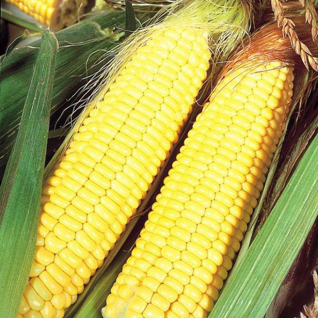 Технология возделывания кукурузы на силос уборка сорта и урожайность