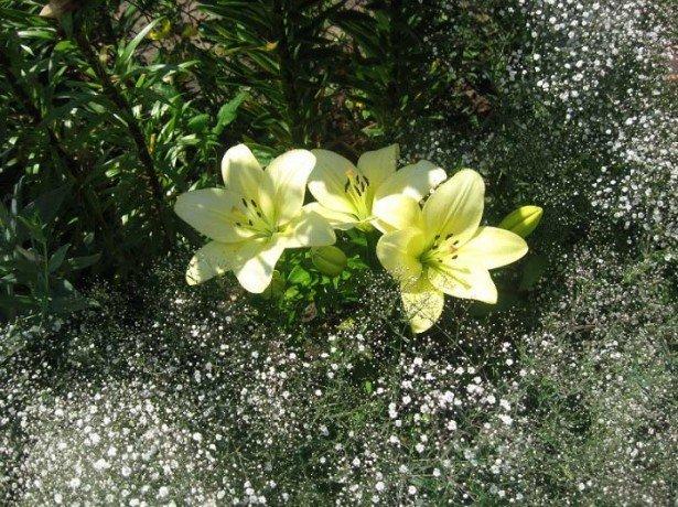 Когда сажают лилии и выкапывают