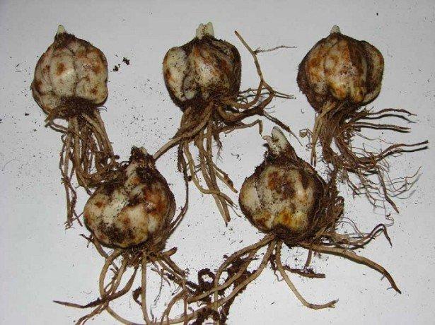 На фото луковицы лилии