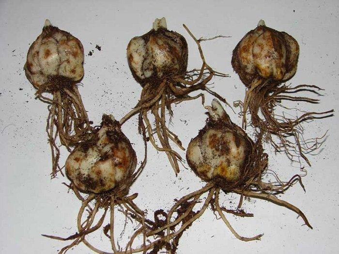 Как сажать проросшие луковицы лилий осенью 26
