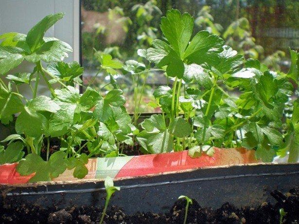 Фото выращивания петрушки