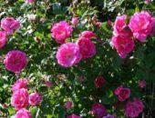 На фото кустовые розы