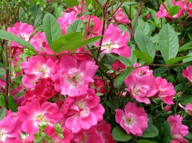 На фотографии полиантовые розы