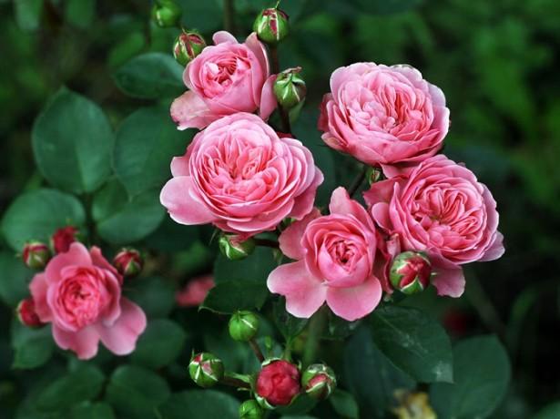 Кустарник чайная роза фото