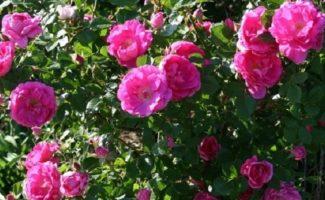 Чем хороши кустовые розы разных видов, и в чем особенности ухода за ними?
