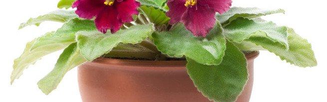 Что необходимо для посадки фиалок, и как правильно сажать фиалки