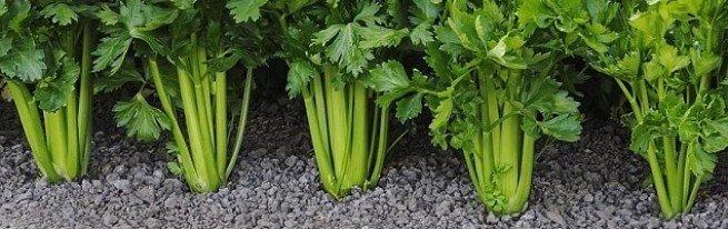Хранение сельдерея корневого, черешкового и листового или как заготовить сельдерей на зиму
