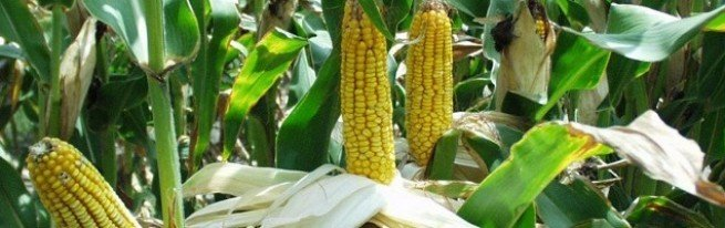 Как посадить кукурузу на своем
