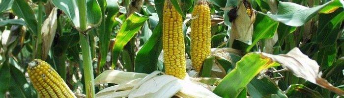 Фотография кукурузы