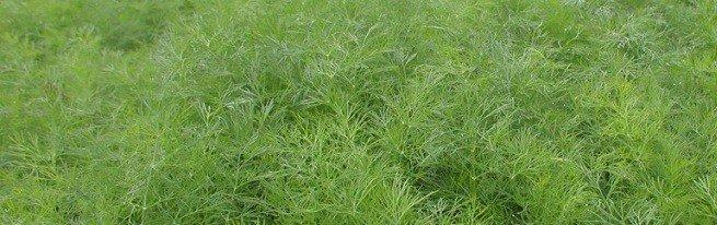 Как сеять укроп правильно – весенний, зимний и подзимний посев укропа