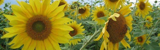 Какие болезни и вредители угрожают подсолнечнику, и как защитить от них растения?