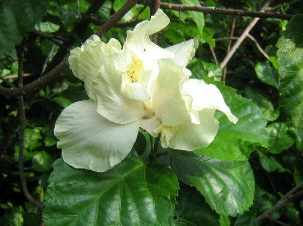 На фото китайская роза