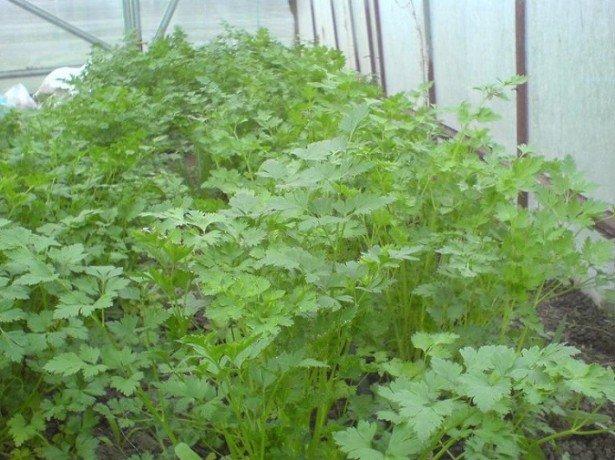 Выращивание петрушки в теплице зимой