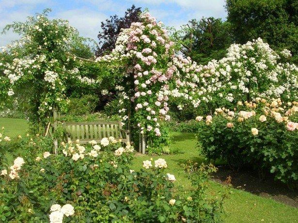 На фото плетистая роза