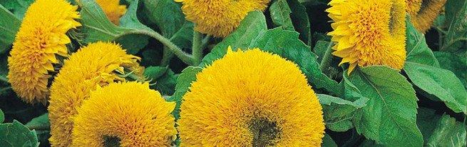 Подсолнечник декоративный – яркие солнечные краски в вашем саду!