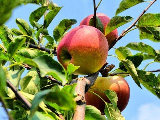 """На фото сорт яблок """"Гала"""""""