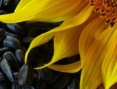 Фото семечек с подсолнухом