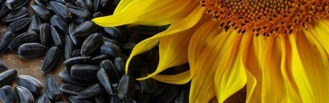 Семена подсолнуха Сингента, Пионер, Лимагрейн – чей посевной материал выбрать?