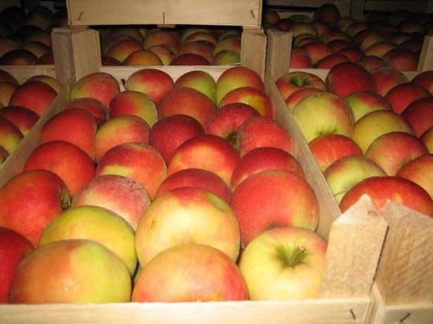 На фото хранение яблок