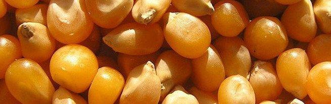 Чем отличается уборка кукурузы на зерно от уборки на силос