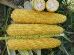 Возделывание кукурузы на зерно по традиционной технологии и по технологии ноу-тилл