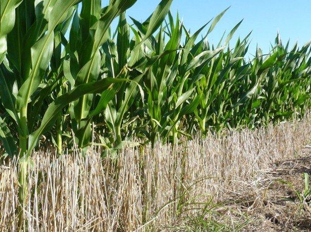 На фото кукуруза в поле
