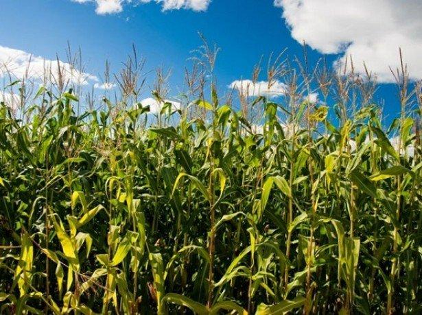 Фотография выращивания кукурузы