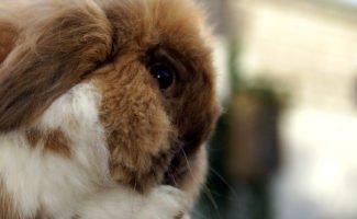 Возможные проблемы со здоровьем у кроликов, как предотвратить и чем лечить?