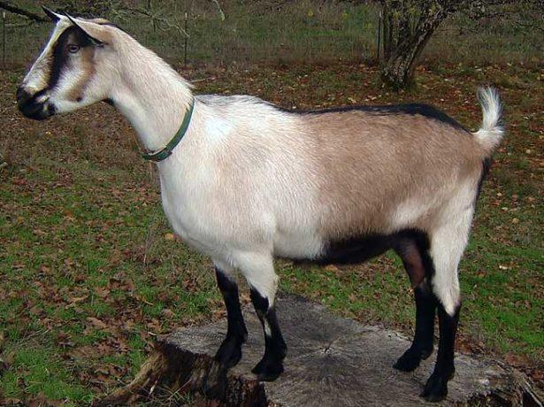 Фото альпийской козы