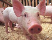 Фото свинки