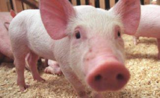 Африканская чума свиней - чем она опасна, как проявляется, и можно ли уберечь животных от заражения?