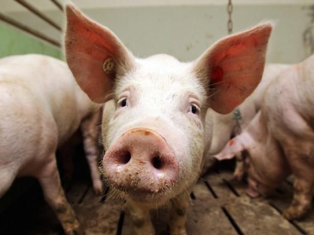 Фотография свиньи